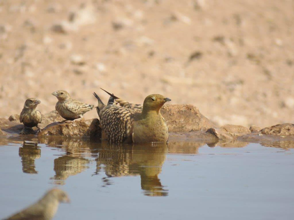 Sand Grouse at water's edge