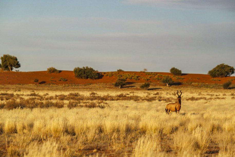 Blesbok in Bushveld